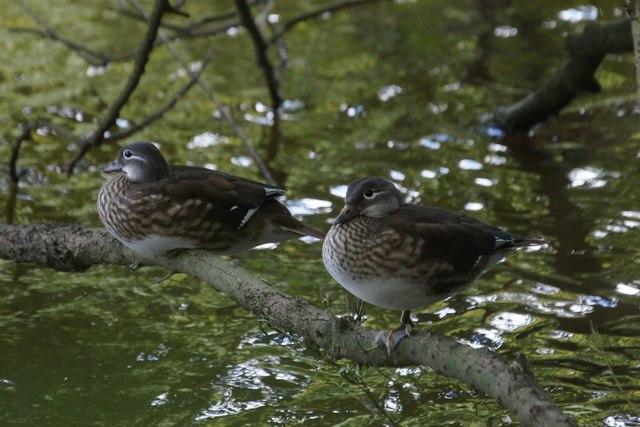 Mandarin Ducks (Aix galericulata) on the Thames at Eel Pie Island
