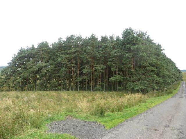 Roadside plantation at West Highridge