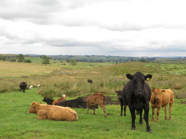 Cattle, south of West Highridge