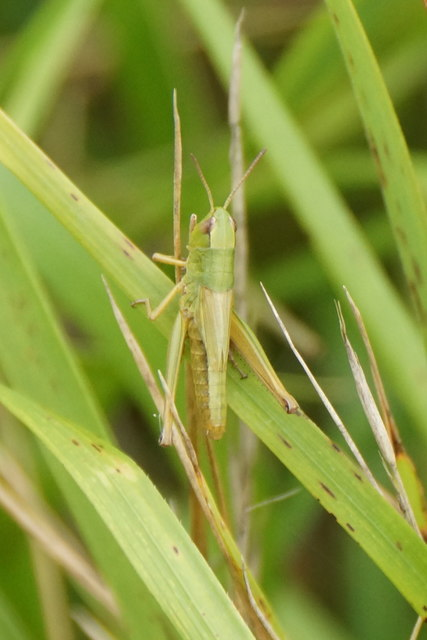 Meadow Grasshopper (Chorthippus parallelus), Box Hill