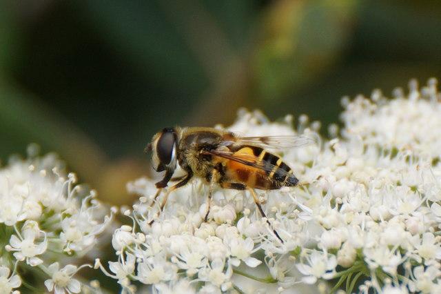 The hoverfly Eristalis horticola, Ham Street car park