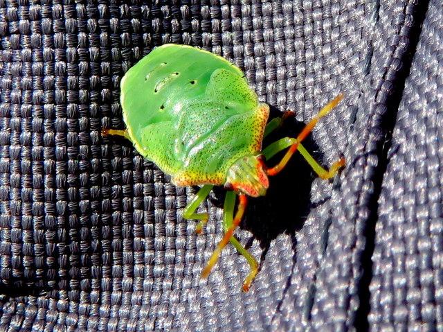 Hawthorn Shieldbug at Old Roan Station