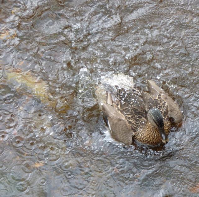 Female Mallard taking a bath