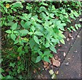TG3208 : Common hemp nettle (Galeopsis tetrahit) by Evelyn Simak