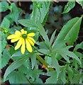 TG3208 : Cone flower (Rudbeckia laciniata) by Evelyn Simak