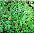 TG3208 : Hart's tongue fern (Asplenium scolopendrium) by Evelyn Simak