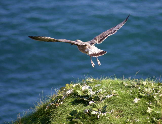 Seagull takeoff