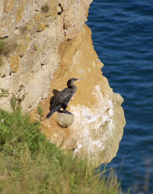 Cormorant on a cliff