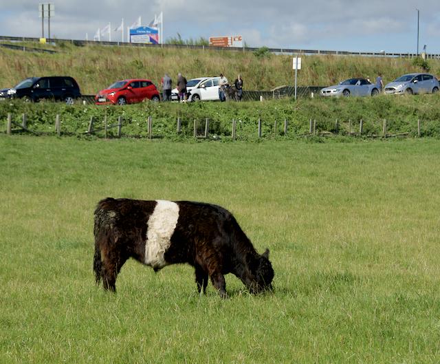 Calf near Cayton Bay
