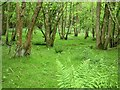 TQ6920 : Coppice on Purbeck limestone, Holman's Wood by Patrick Roper