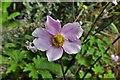 SU9279 : Dorney Court Garden: Anemone in the border by Michael Garlick