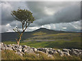 SD7175 : Hawthorn on the edge of Twisleton Scars by Karl and Ali