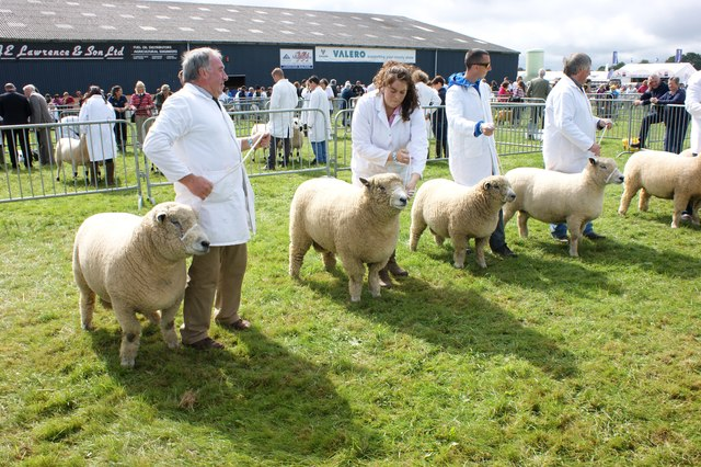 Sheep competition, Pembrokeshire County Show