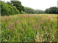 TQ7618 : Purple loosestrife in Line valley meadow, Whatlington by Patrick Roper