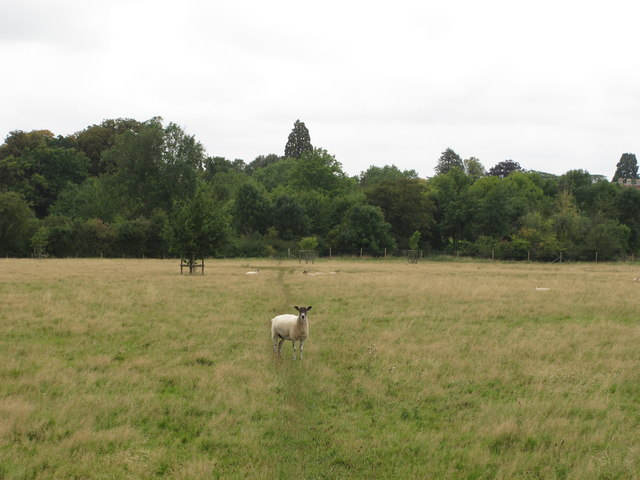 Sheep on path across New Park, Thame