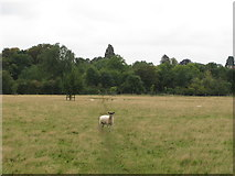 SP7103 : Sheep on path across New Park, Thame by David Hawgood