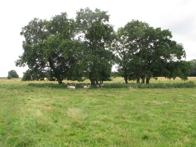 Sheep under trees in New Park, Thame