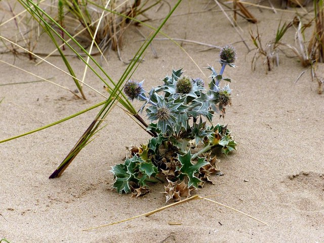 A young Sea holly plant