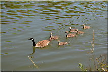 SP5105 : Goose and goslings by N Chadwick