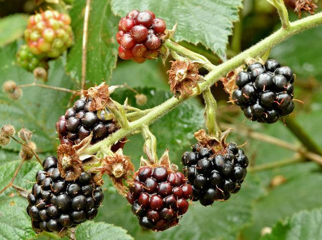 Blackberries, Helen's Bay - September 2017(2)
