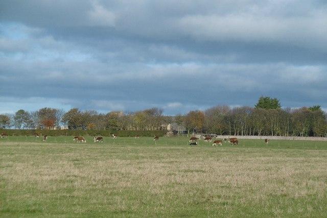 Herefords, Bonnington