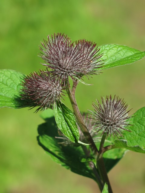 Greater Burdock by Skears Quarry - detail
