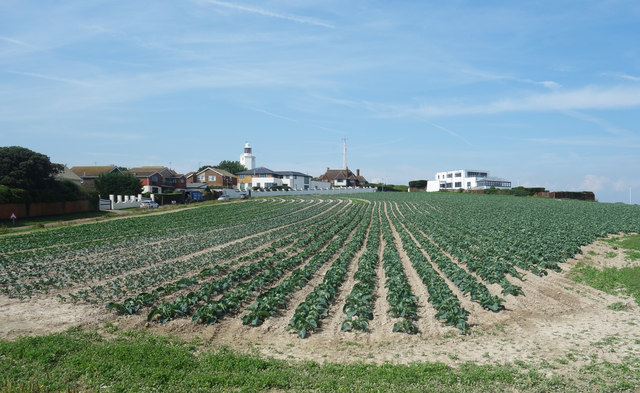 Cabbages at North Foreland
