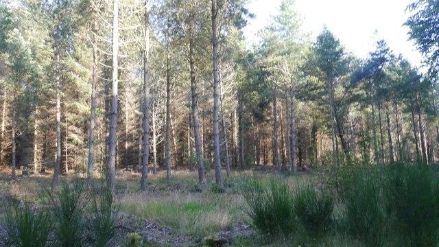 Pines, Tentsmuir