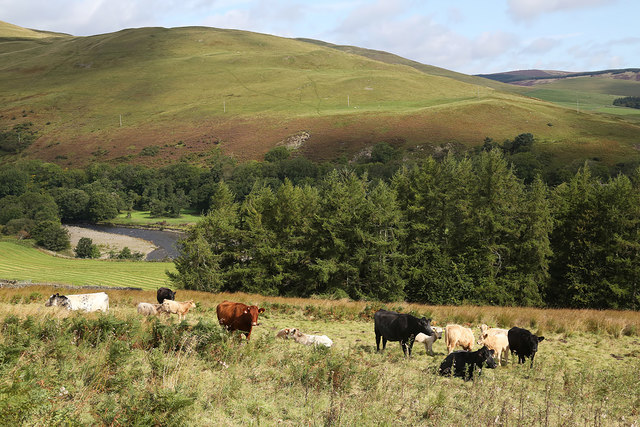 Cattle at Yarrow