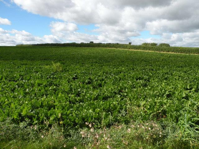 Sugar beet field near Linton