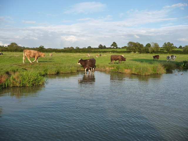 Cattle on the bank of the north Oxford Canal