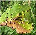 TG3203 : Leaf galls on alder (Alnus glutinosa) by Evelyn Simak