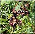 TG3203 : Blackberry (Rubus fruticosus)  - fruit by Evelyn Simak