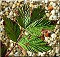 TG3204 : Leaf galls on meadowsweet ((Filipendula ulmaria) by Evelyn Simak