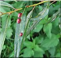 TG3203 : Galls on willow (Salix alba) by Evelyn Simak
