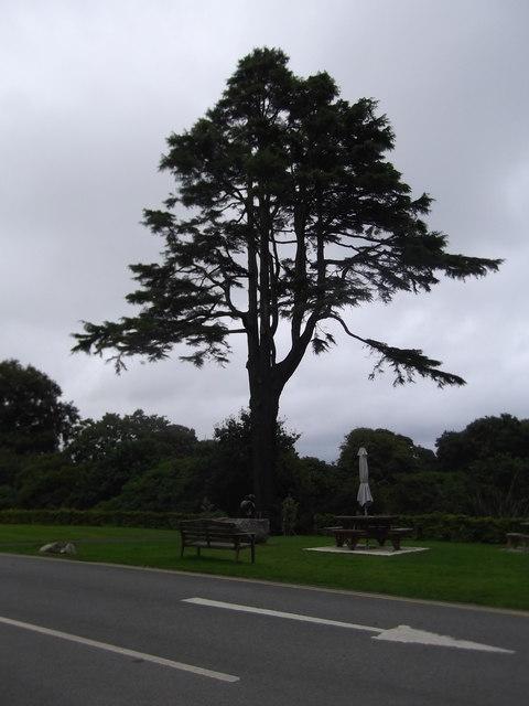 Deodar Cedar at Plas Glyn y Weddw