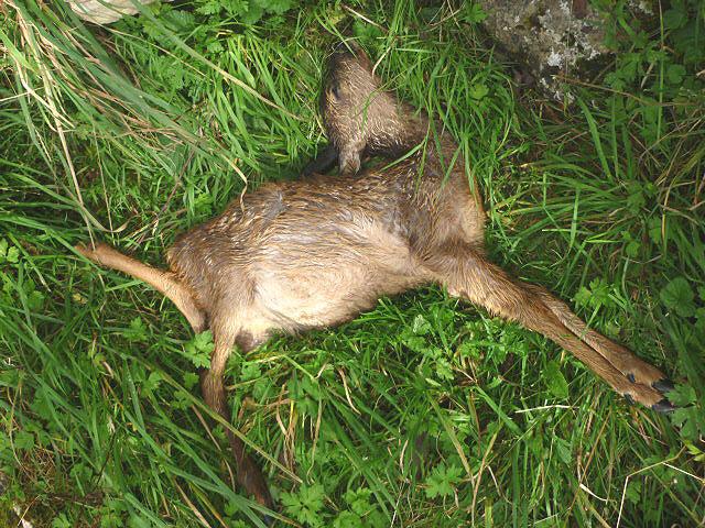 Dead fawn, Warton Crag