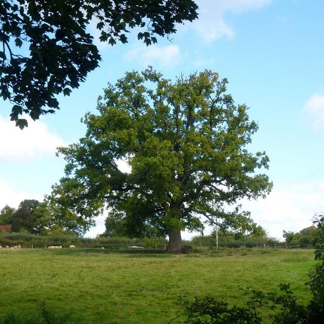 Brand Oak