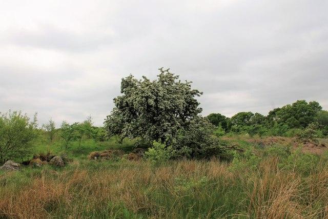 Hawthorn by Plantation