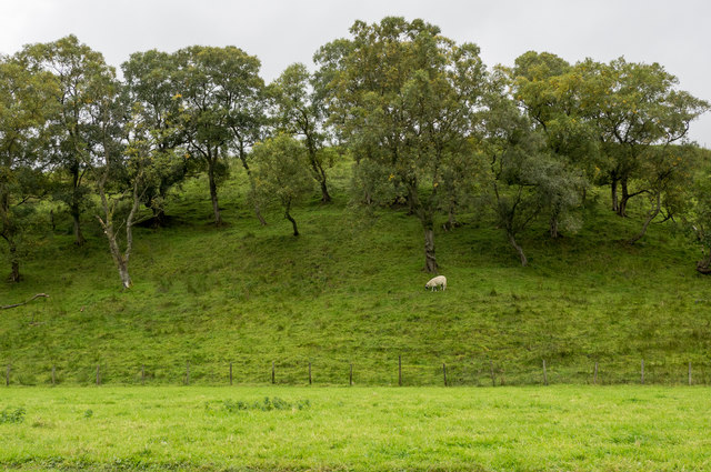 Lone sheep on slope with trees