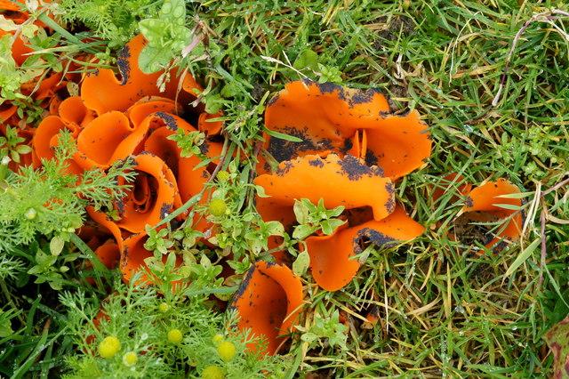 Orange-peel Fungus (Aleuria aurantia), between Haroldswick and Burrafirth