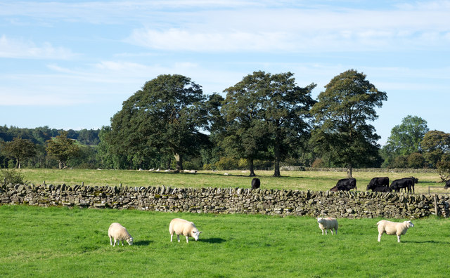 Sheep and cattle in fields
