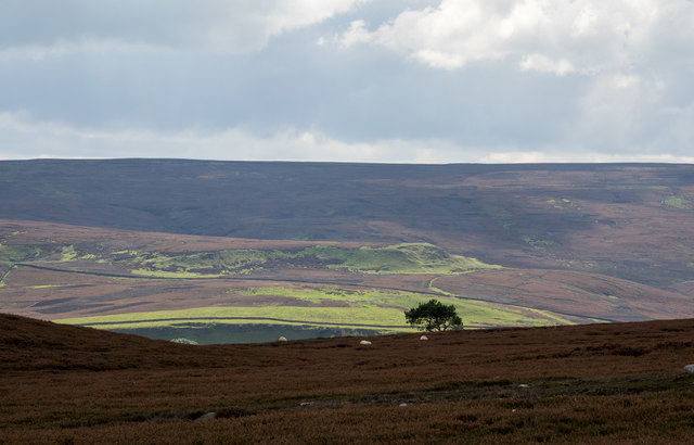 Heather moorland with lone tree
