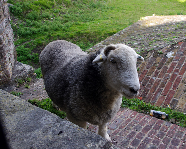 Sheep, Dover Castle