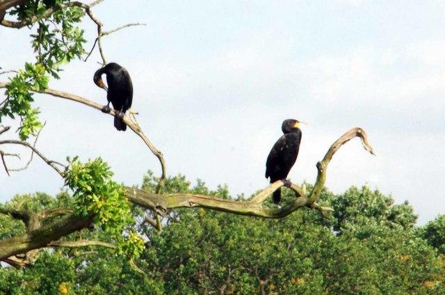 Cormorants In Highams Park