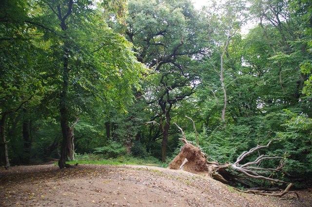 Fallen Hornbeam on Pole Hill