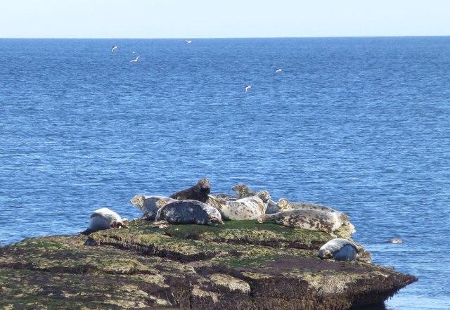 Seals basking on the rocks at Castlehead Rocks