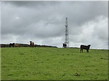 SX5695 : Cows and the phone mast at Hilltown by David Smith