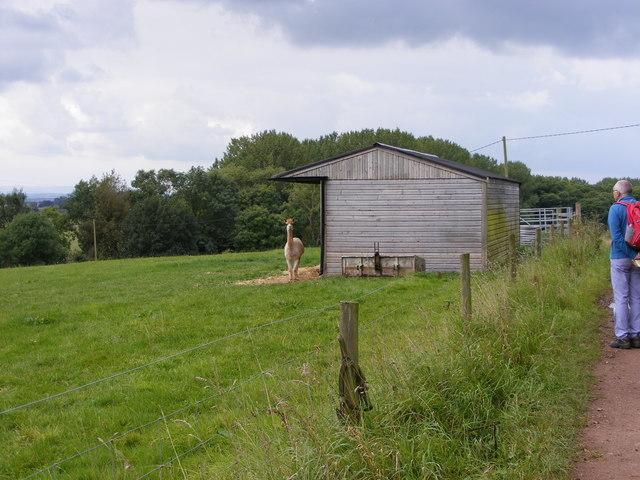 Alpacas Field