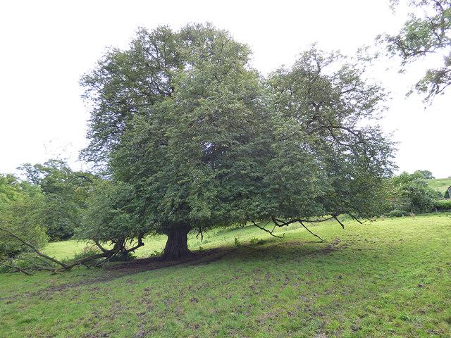 Beech tree below Skelton Lane